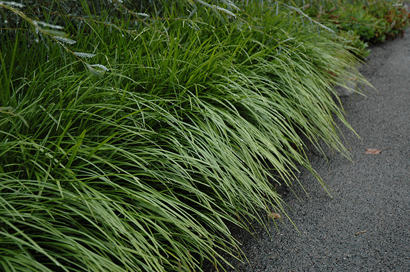 Lily Turf Liriope Spicata In Plymouth Ann Arbor