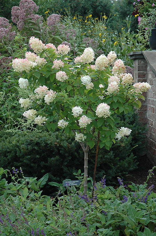 Limelight Hydrangea Tree Form Paniculata